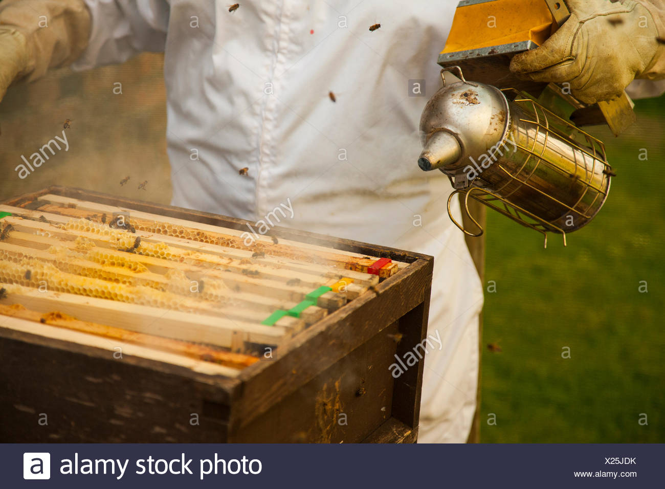 Bee Keeper smoking bees with a hive smoker - Stock Image
