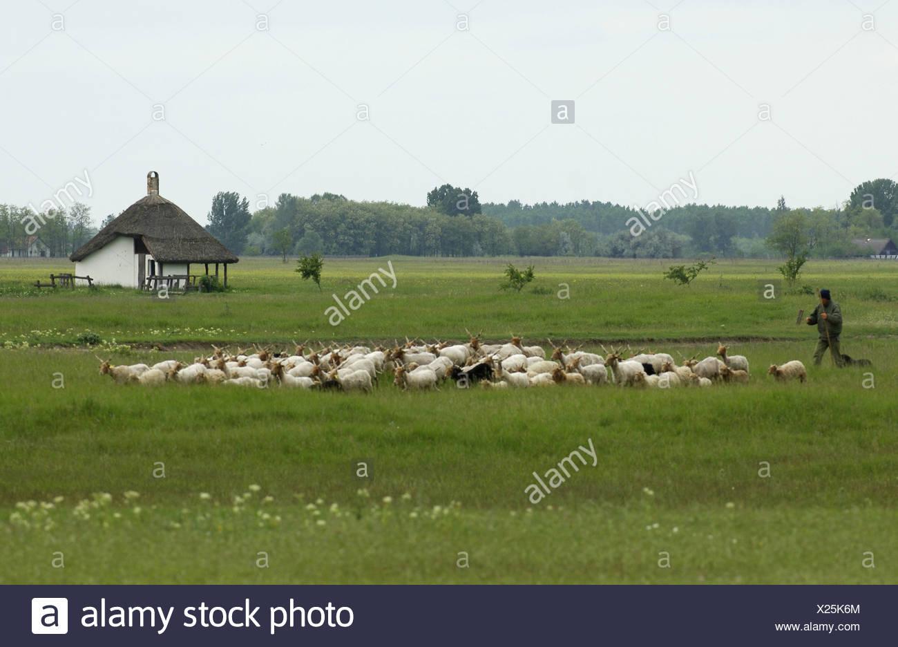 Walachian (Ovis ammon f. aries), herd with shepherd, Hungary - Stock Image