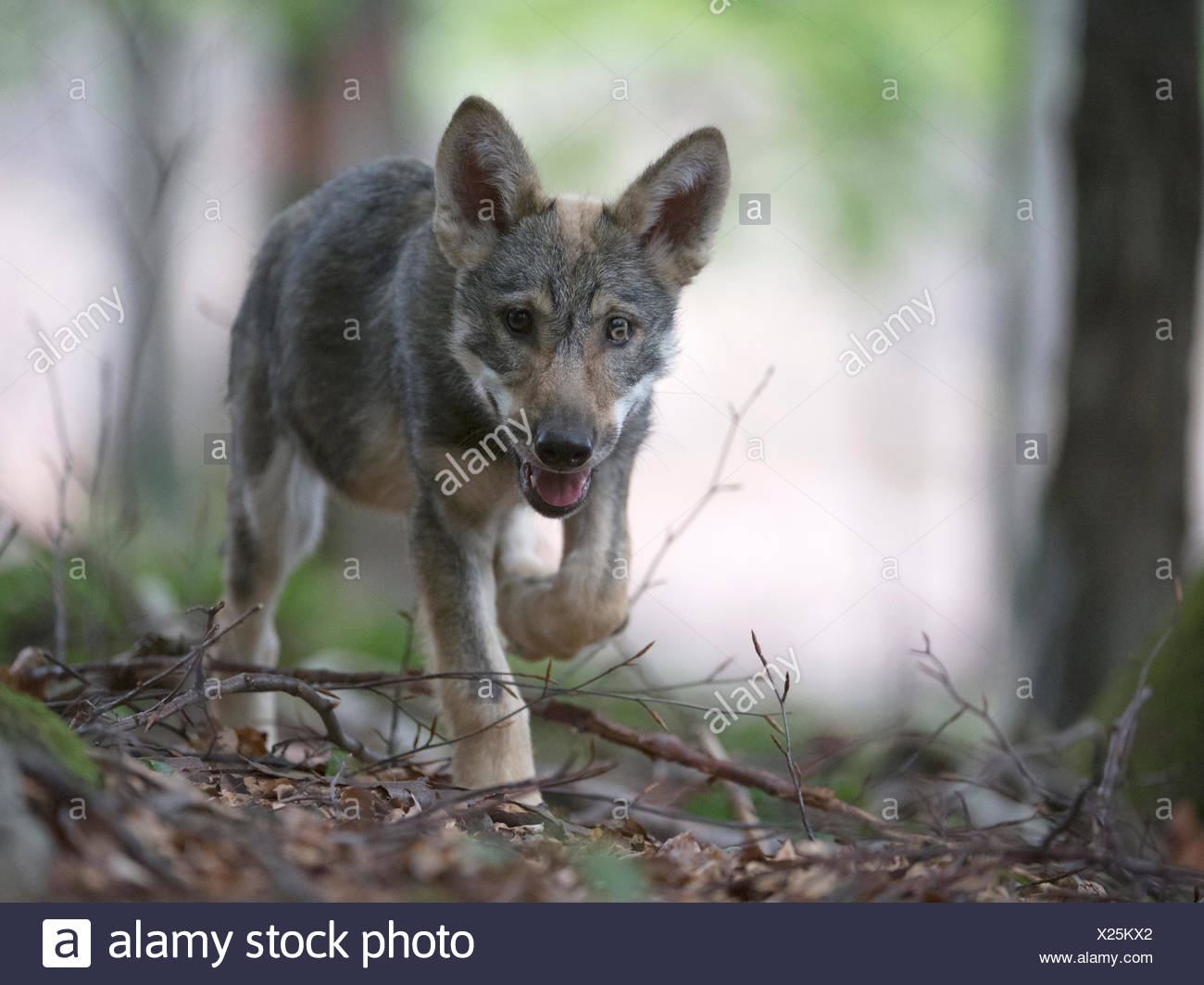 Wolf (Canis lupus), pup, captive, Germany - Stock Image