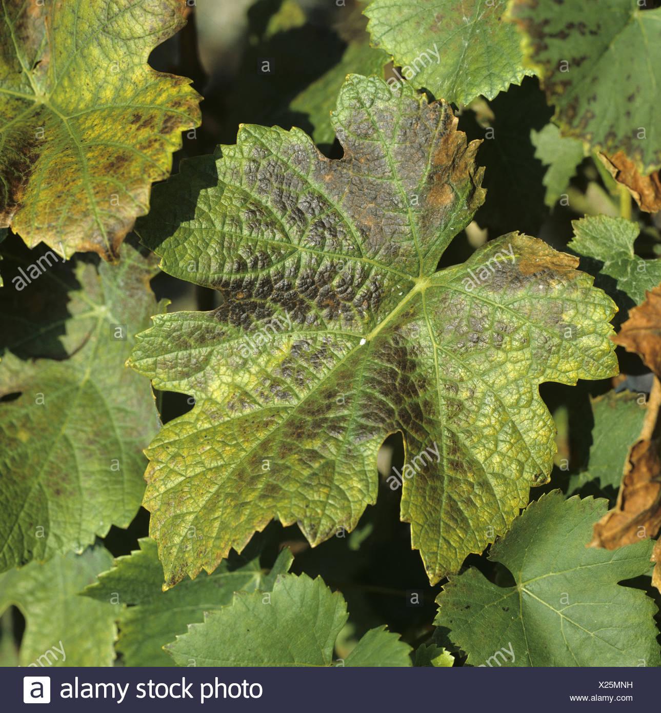 Manganese symptoms on Pinot Noir grapevine leaf - Stock Image