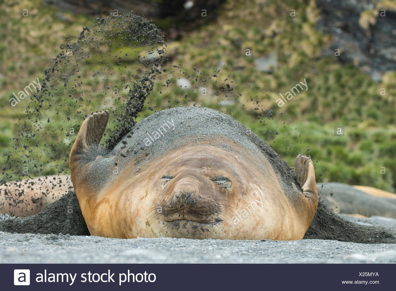 An adult male southern elephant seal brushes sand on top of itself to keep it cool. - Stock Image