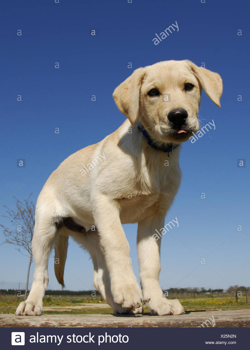 animal pet dog maddening pert coquettish cute labrador beautiful beauteously - Stock Image