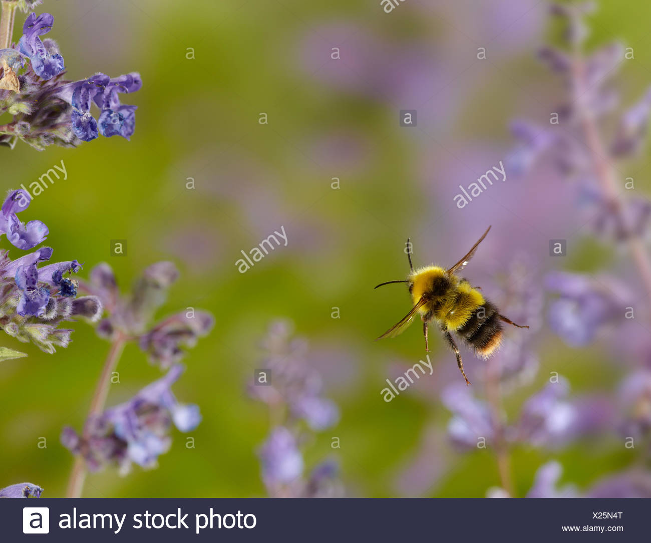 Early bumblebee (Bombus pratorum) in flight, controlled conditions. - Stock Image