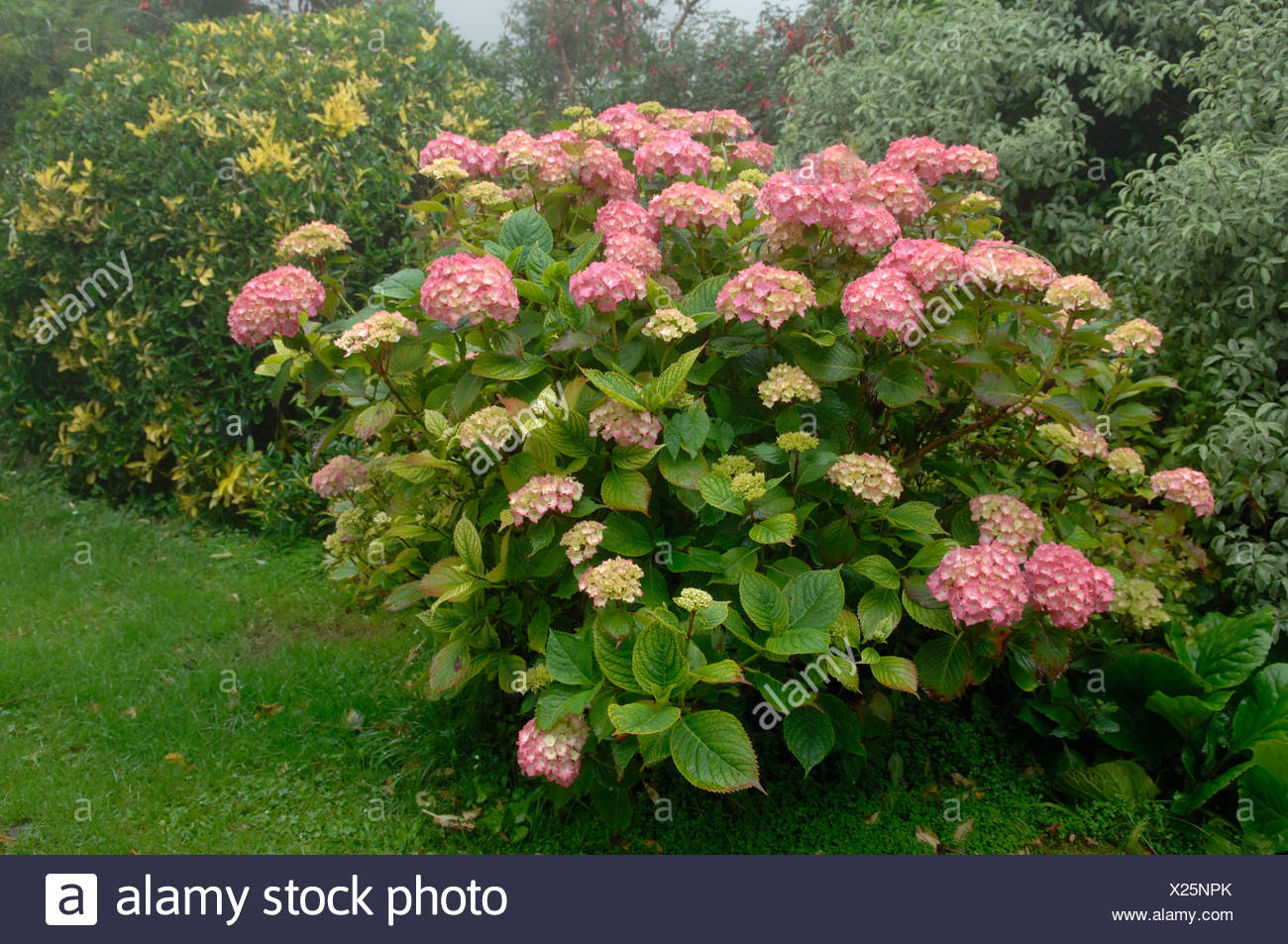 Flowering red hydrangea shrub showing chlorosis caused by lime induced iron Fe deficiency - Stock Image
