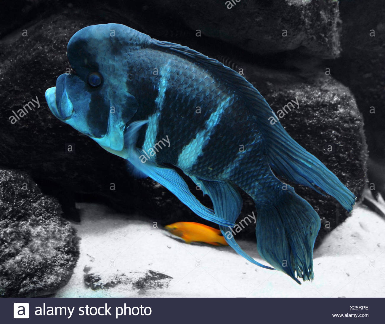underwater scenery showing a big blue striped Cichlid in front of some dark stones - Stock Image
