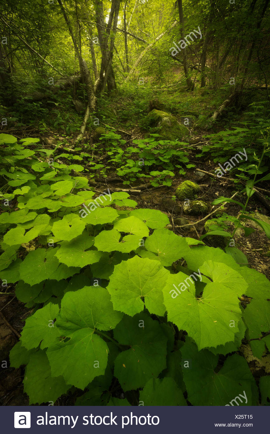 Blooming of wild plants in the forest. Canton Ticino, Switzerland - Stock Image