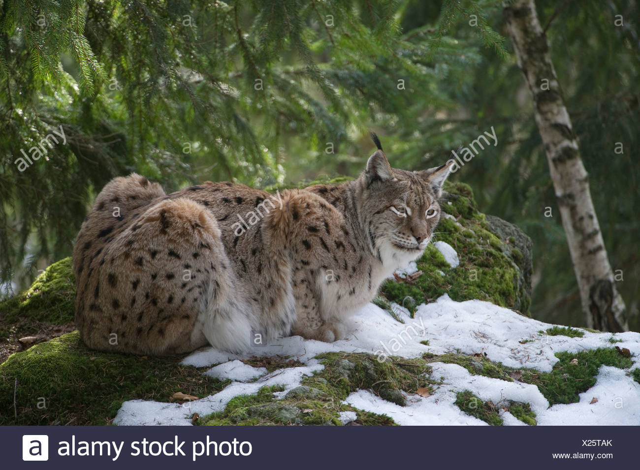 Lynx (Lynx lynx) in the snow, Bavarian Forest National Park, enclosed area, Neuschoenau, Bavaria, Germany, Europe - Stock Image