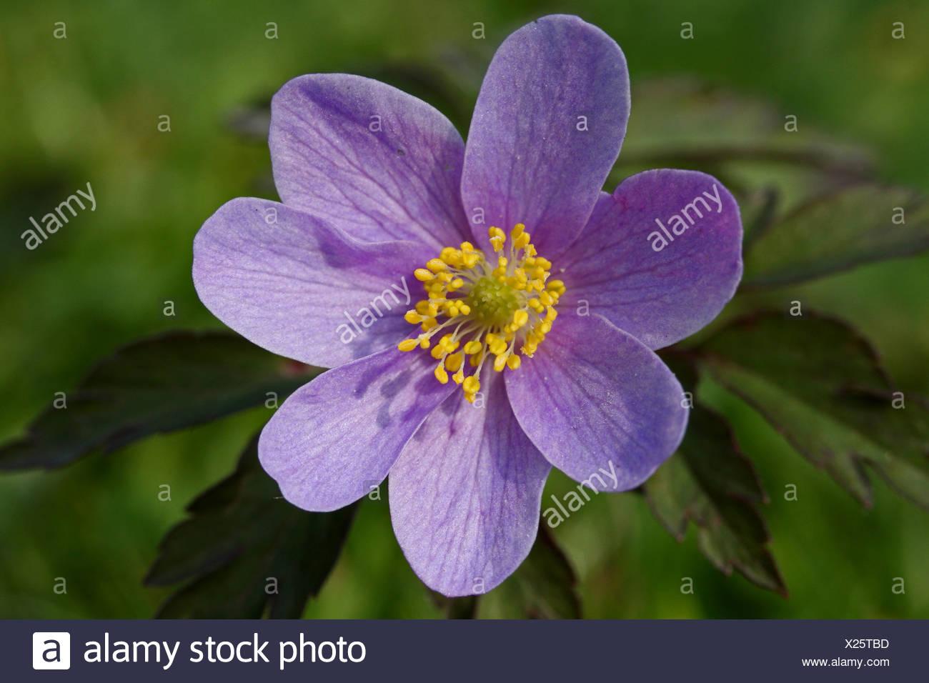close-up bovenaanzicht lila 7-tallige bloem - Stock Image