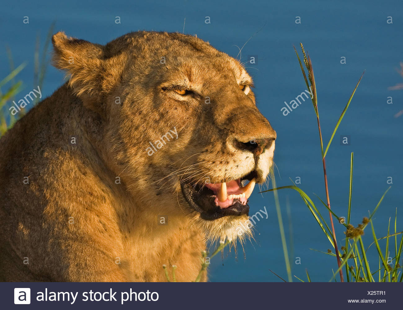 Close up of female lion, Greater Kruger National Park, South Africa Stock Photo