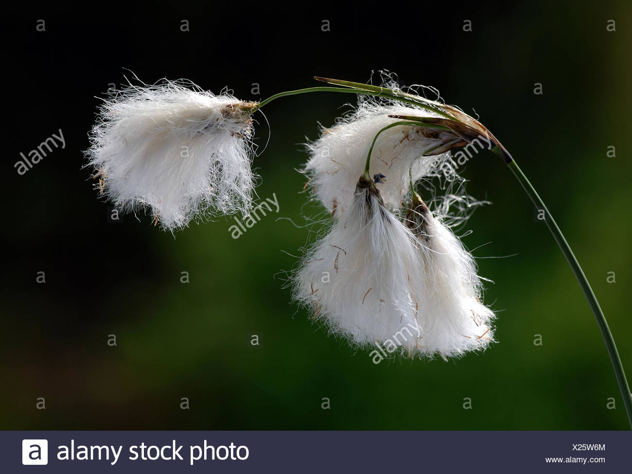 wool grass - Stock Image