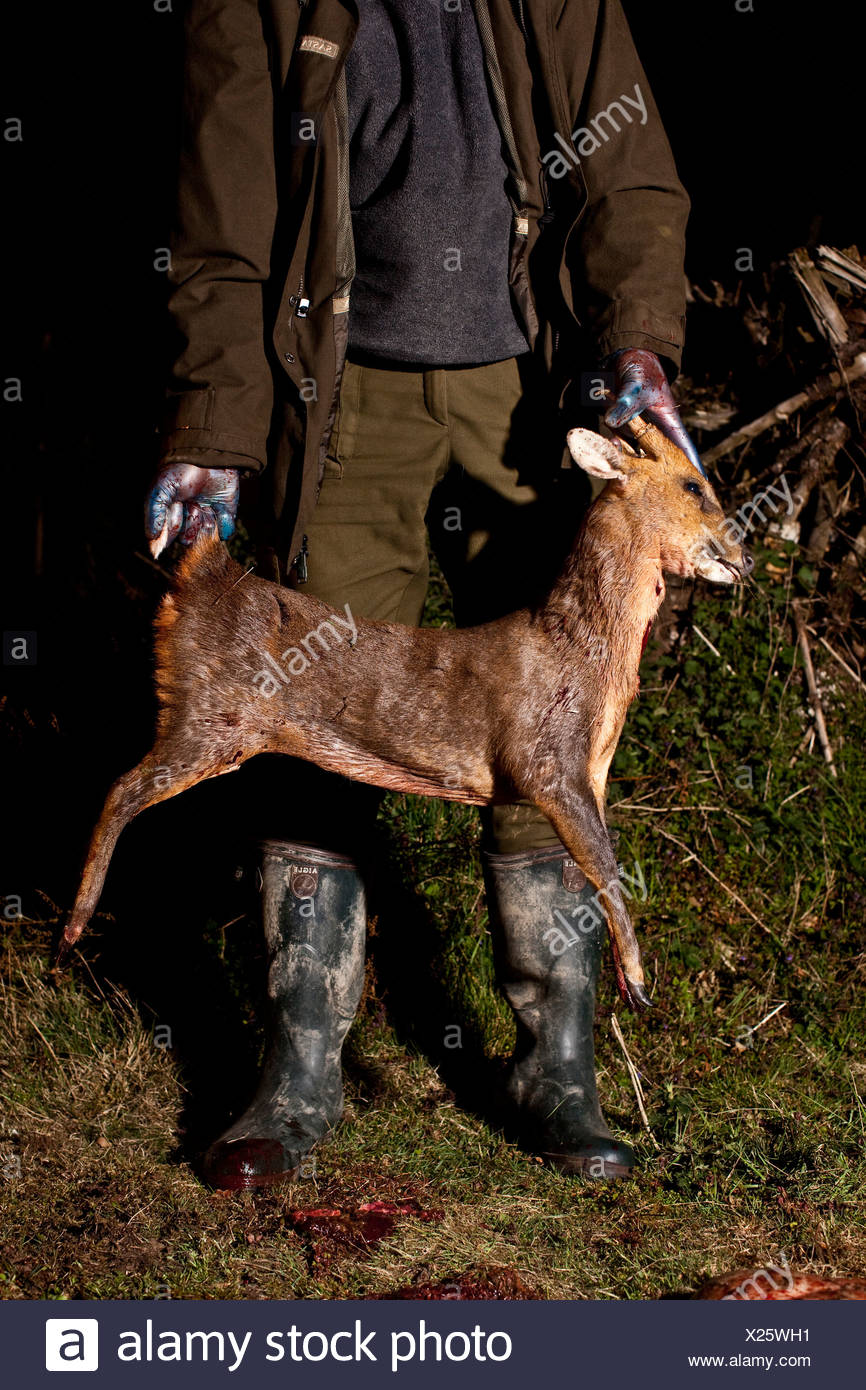 Hunter holds young deer killed for sport, Thetford forest, UK - Stock Image