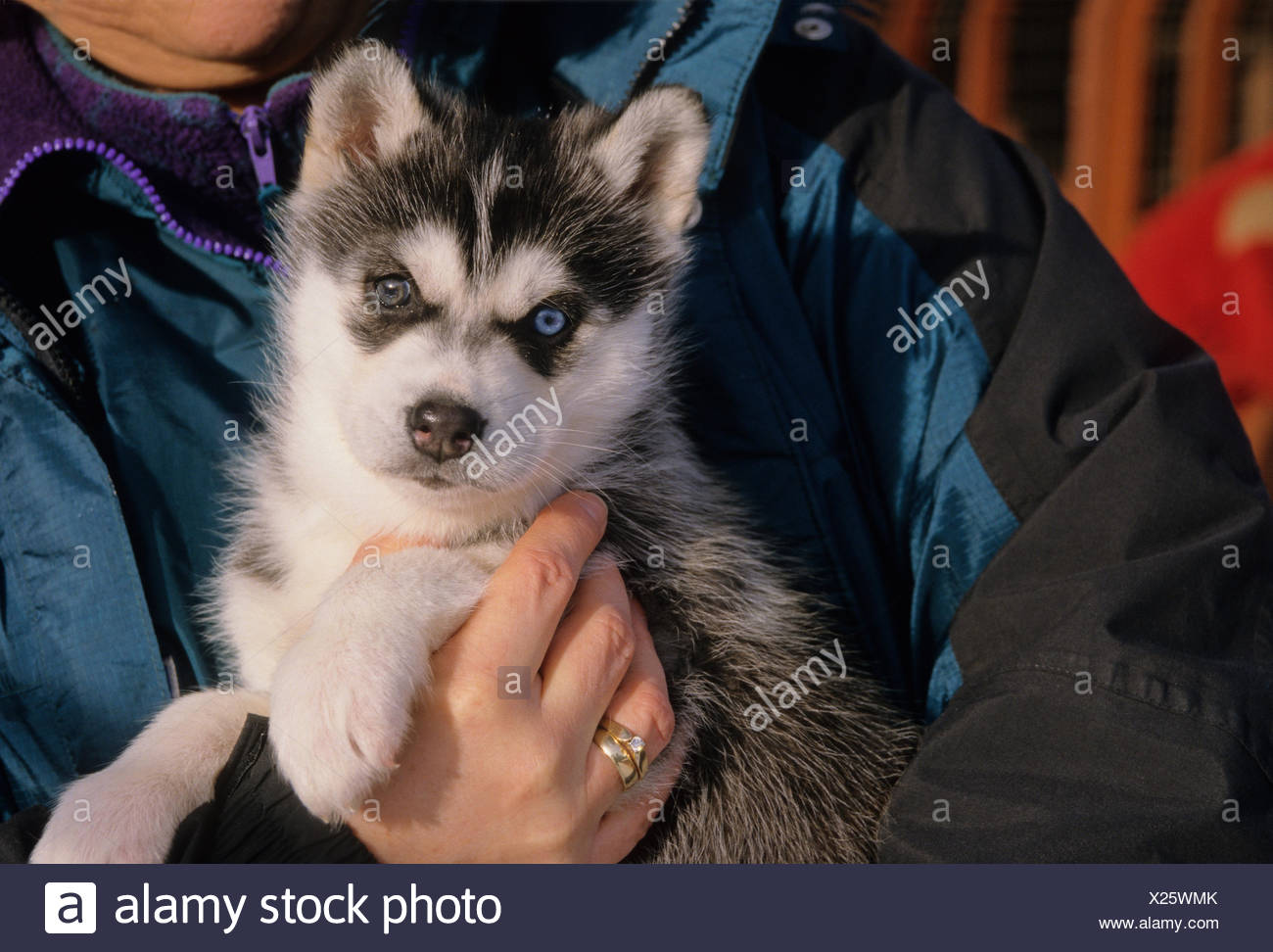 Cute Siberian Husky (Canis lupus familiaris) puppy looking at the camera Central Ontario, Canada. Stock Photo
