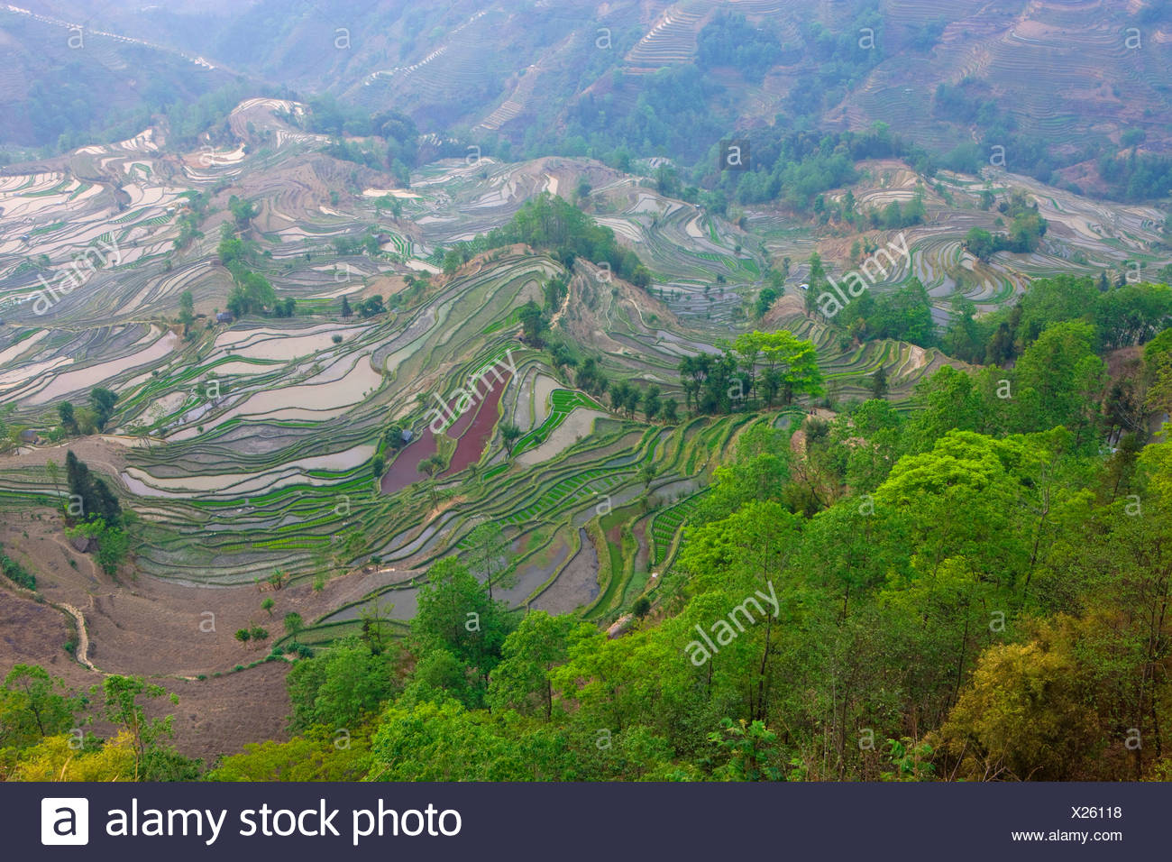 Yuanyang, China, Asia, rice terraces, growing of rice, rice fields, agriculture, water, trees, wood, forest, spring - Stock Image