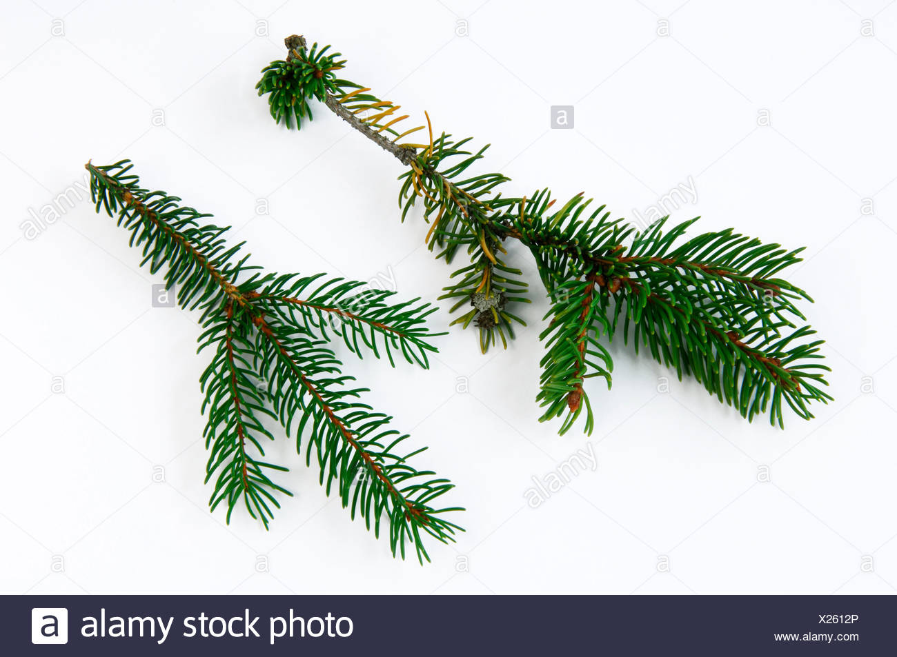 Norway Spruce, Common Spruce (Picea abies). Healthy and damaged twig with fallen off needles and discoloration of needles. Studio picture against a white background. Germany - Stock Image