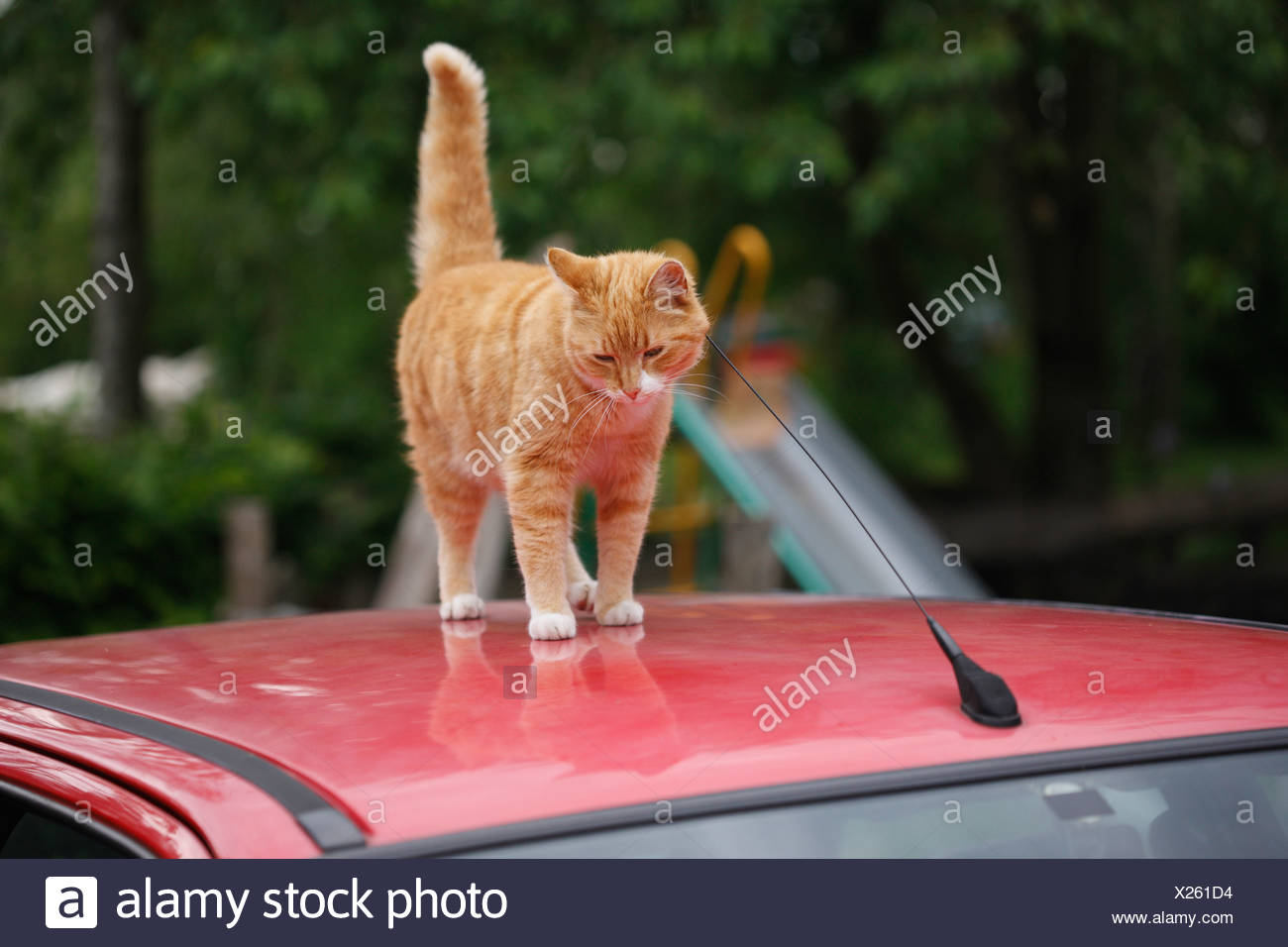 domestic cat, house cat, European Shorthair (Felis silvestris f. catus), red tomcat on a car roof scratching at the antenna, Ge - Stock Image