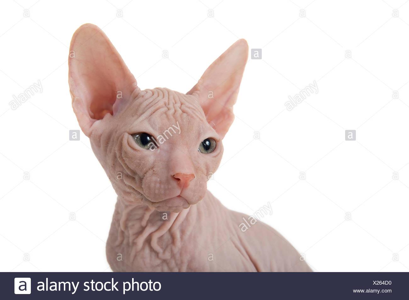 Don Sphynx kitten, 8 weeks, Red Stock Photo