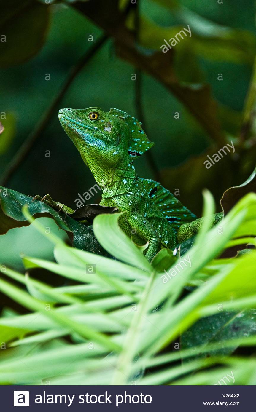 Side view of plumed or double crested basilisk  (Basiliscus plumifrons) in rainforest looking away, Costa Rica Stock Photo
