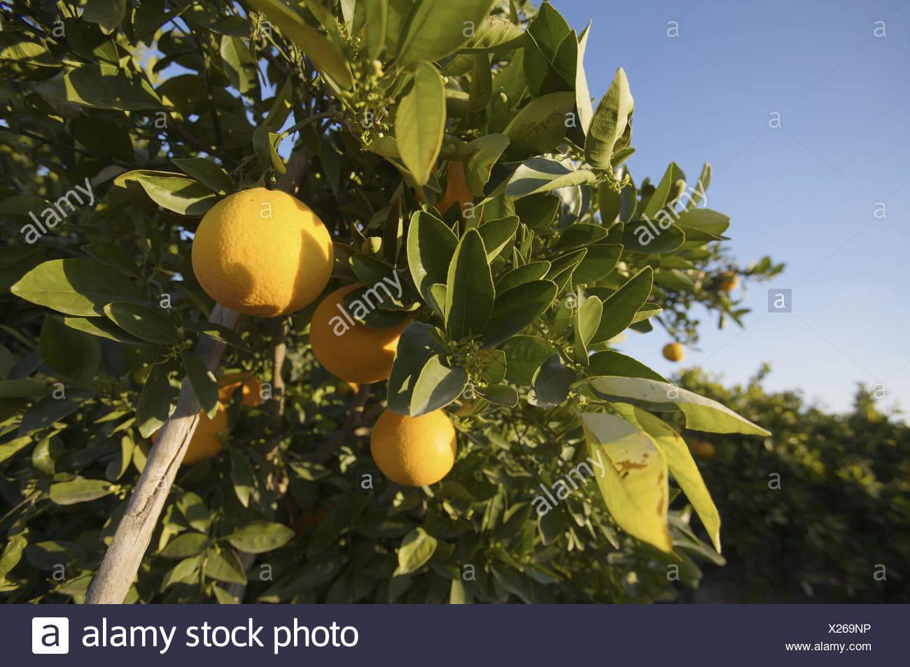 Grapefruit on a familiar garden in Benifaió, Valencia, Comunidad Valenciana, Spain, Europe - Stock Image
