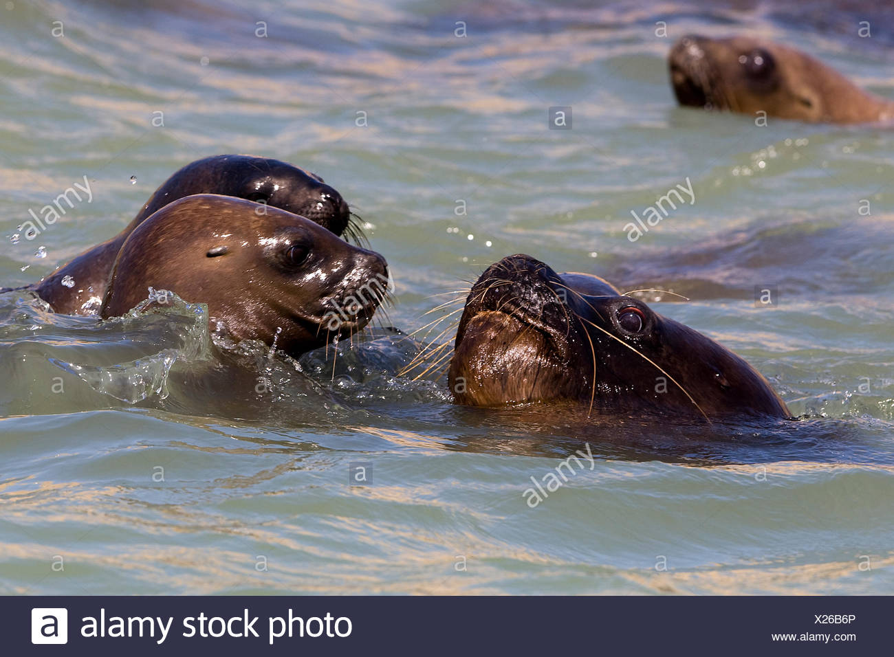South American Sea Lion or Southern Sea Lion,  otaria byronia, Group Swimming,  Paracas Reserve in Peru Stock Photo