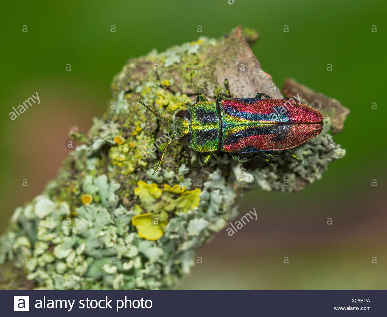 Jewel beetle, Wood-boring beetle (Anthaxia candens), male sitting on a branch, Germany - Stock Image