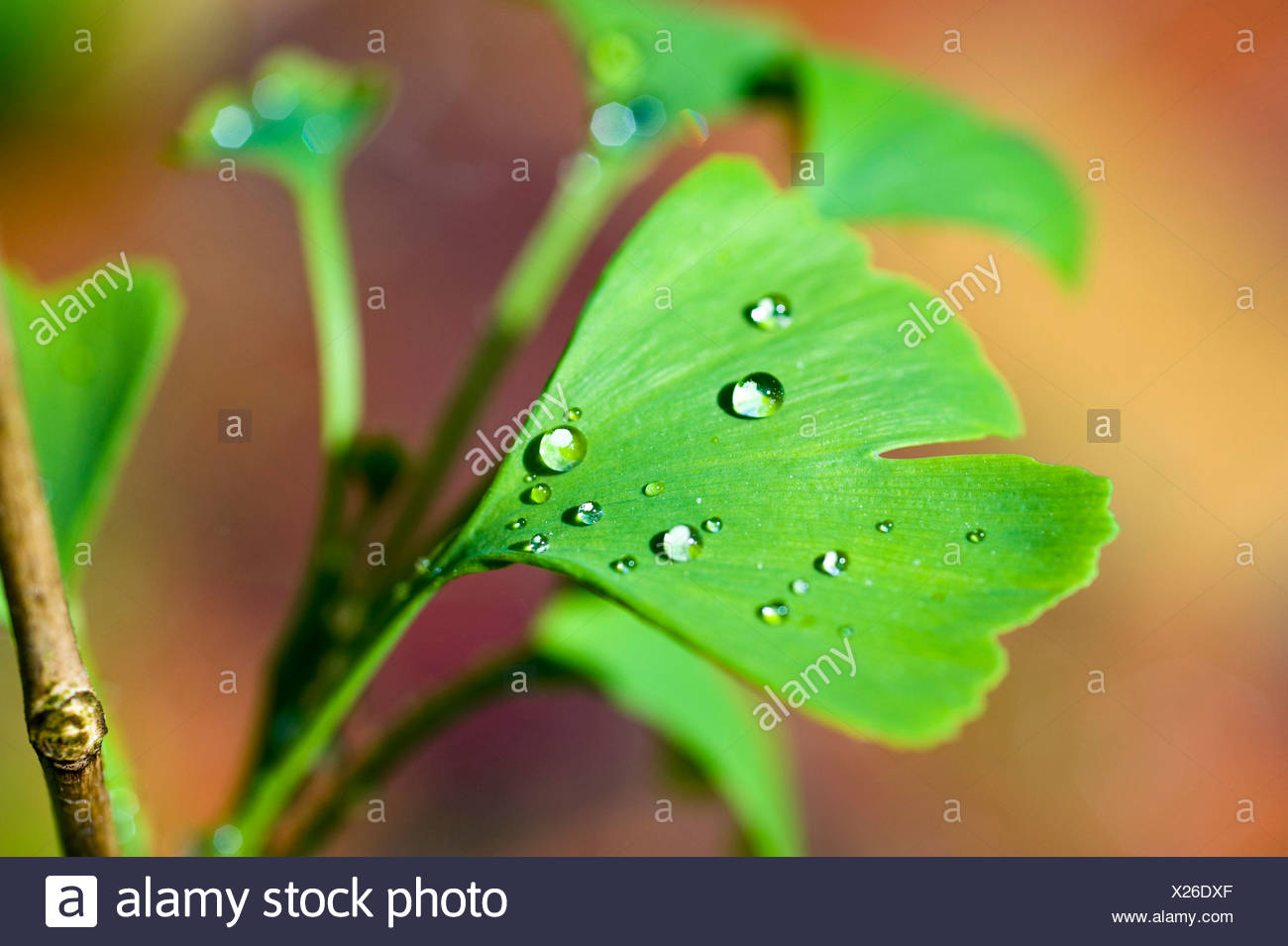 Ginkgo leaf (Ginkgo biloba), covered with water drops Stock Photo