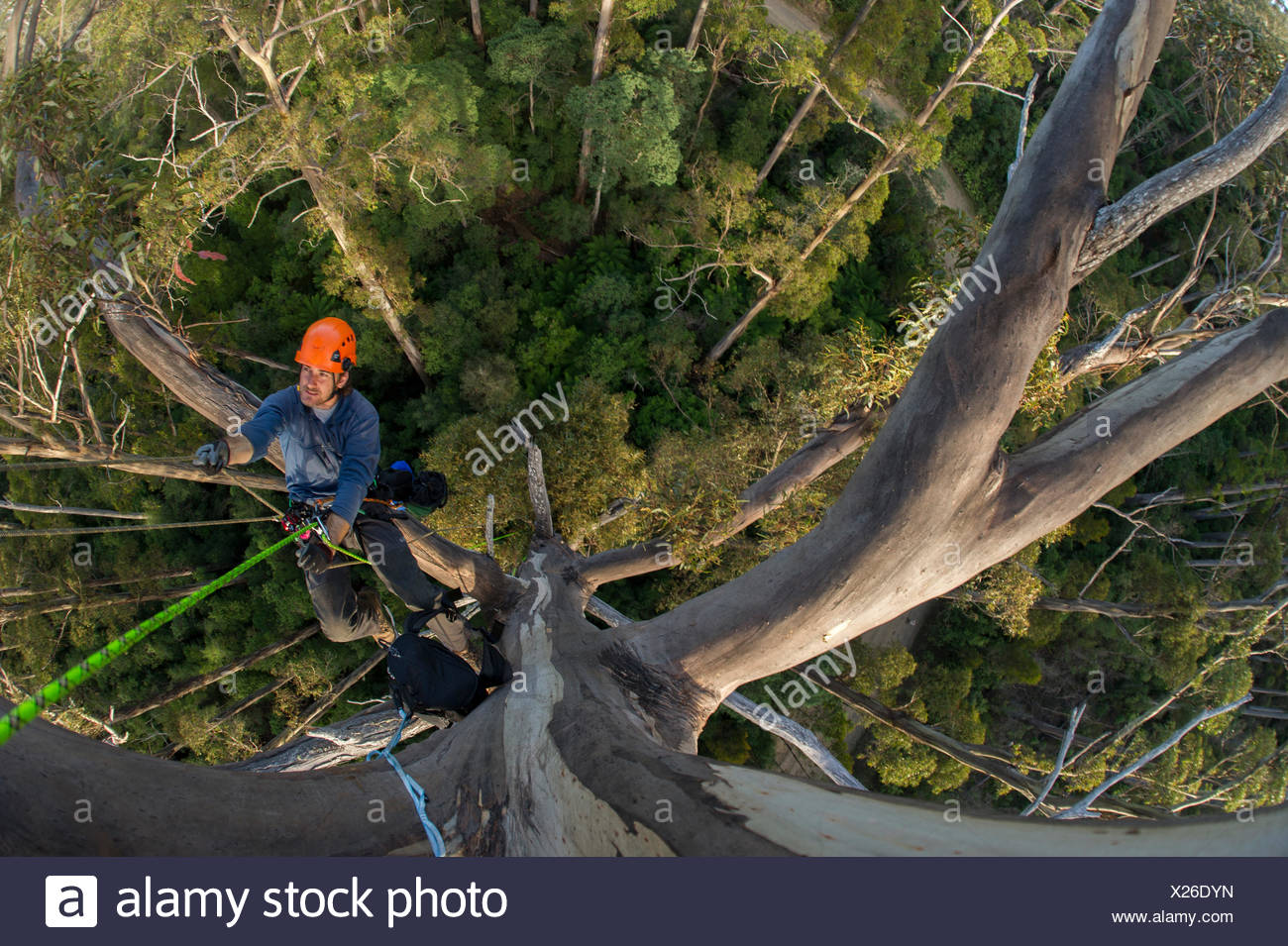 A scientist ascending a fixed rope in a 70 meter tall Eucalyptus regnans in Wielangta State Forest, Tasmania. - Stock Image
