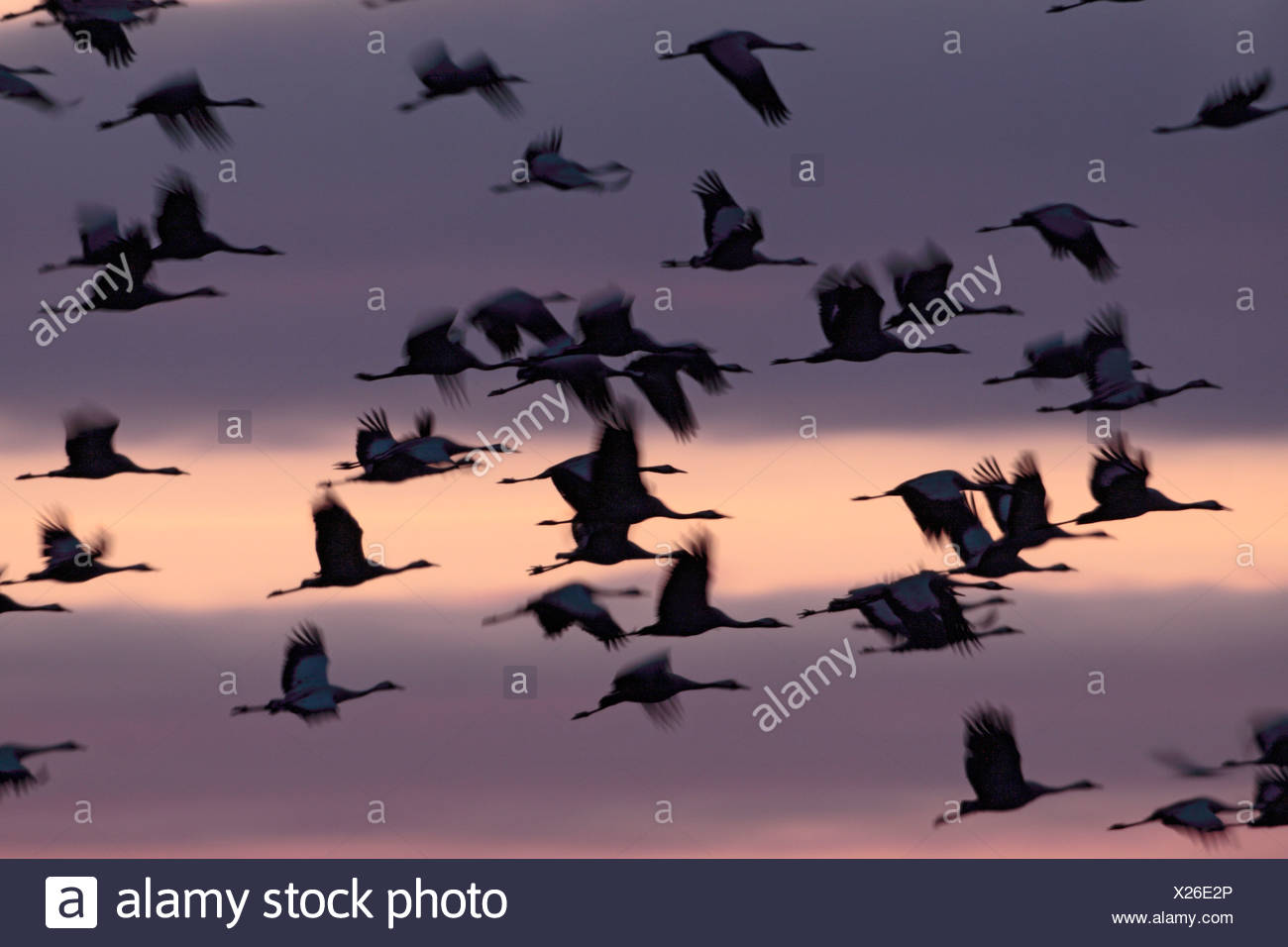 Common Cranes  in spring,  Lake Hornborgasjoen, Sweden Stock Photo
