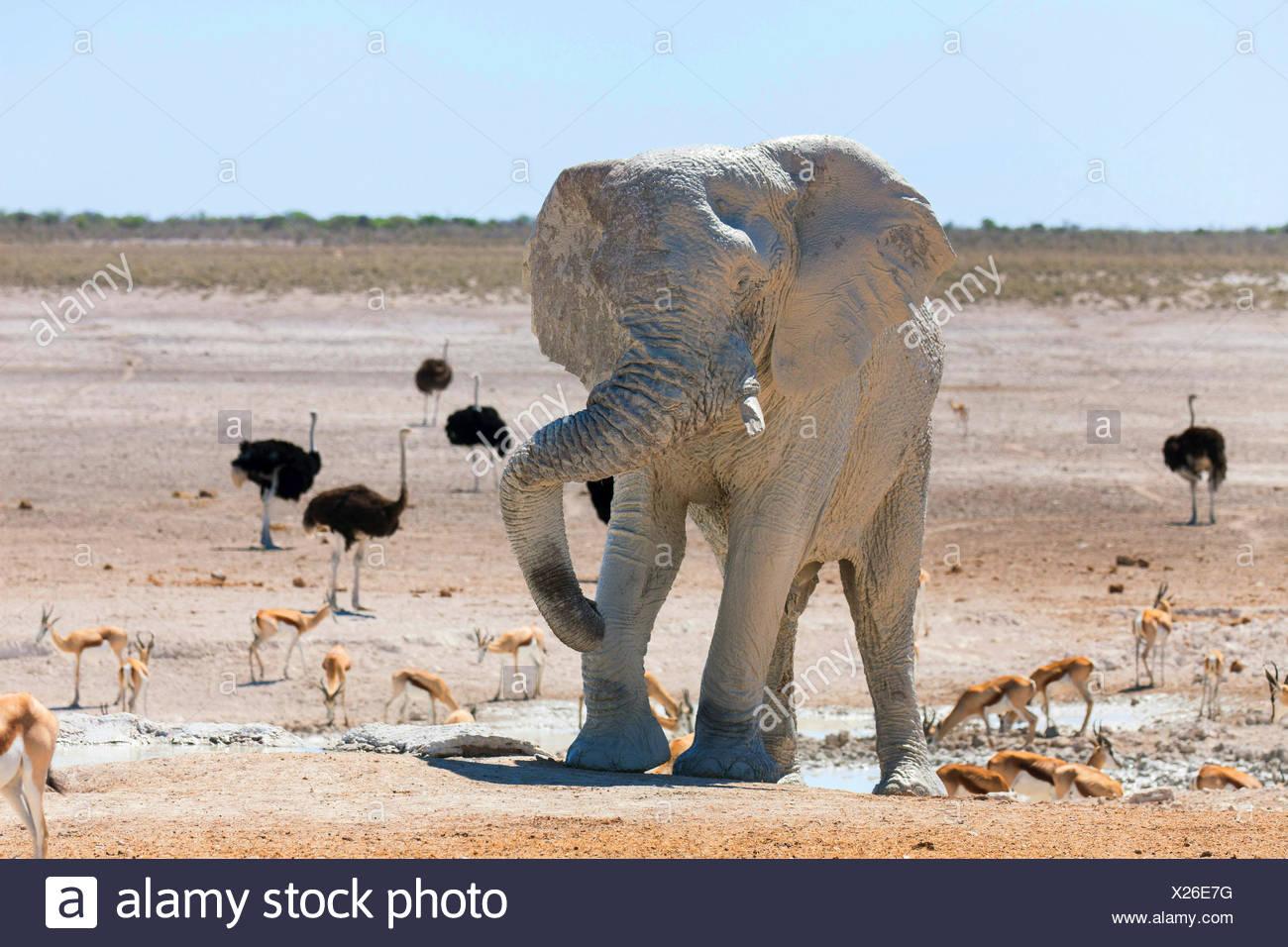 African elephant (Loxodonta africana), elefant after mud bath in a waterhole with impalas and ostriches, Namibia, Etosha , Etosha National Park, Naumutoni Stock Photo