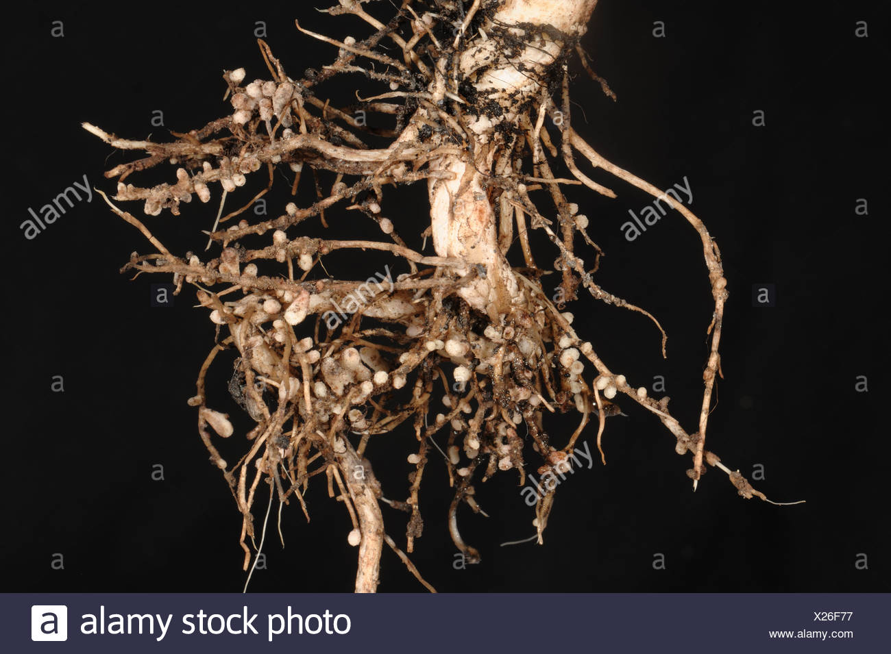Rhizobium root nodules on the roots of a broad or field bean for nitrogen fixation - Stock Image