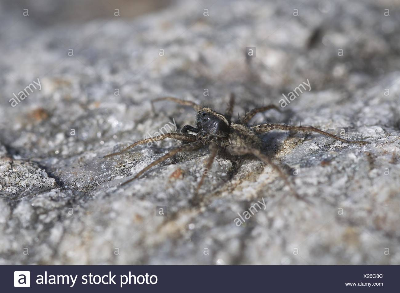 Wolf Spider, Male (Pardosa amentata) - Stock Image