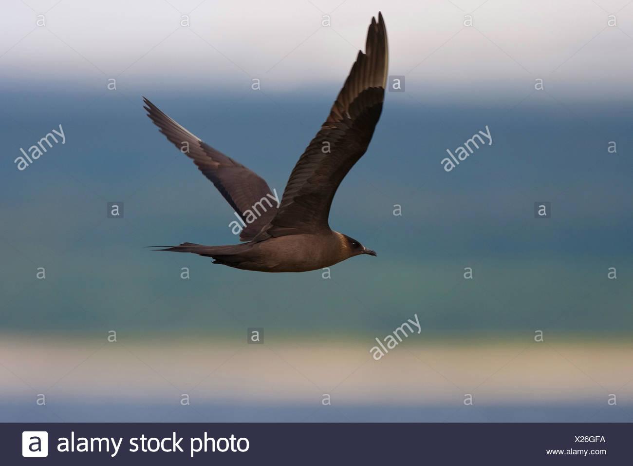 Parasitic Jaeger, Arctic Skua, Parasitic Skua (Stercorarius parasiticus), dark coloured morph flying Stock Photo