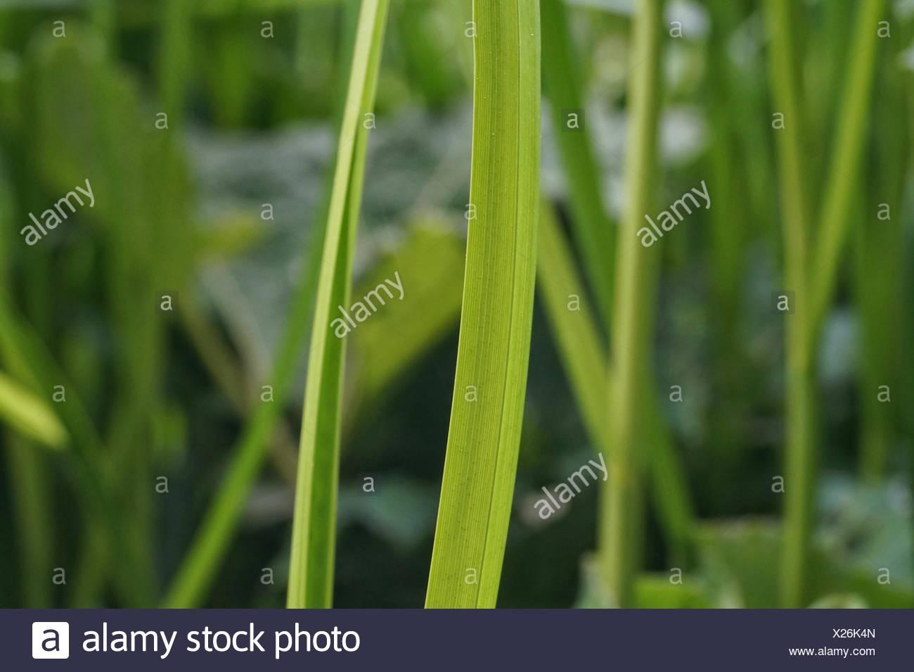 grass blade close up. Close Up Of Grass Blade