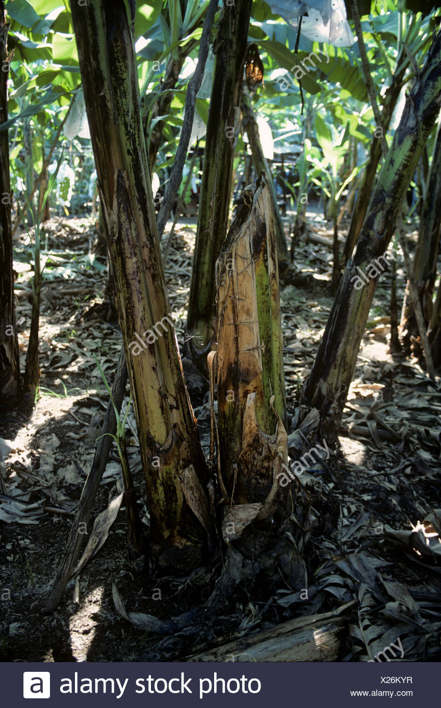 Banana plant growing with cut stem and replacement shoot Philippines - Stock Image