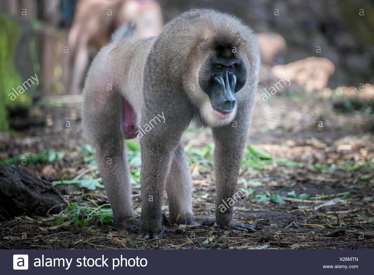 Drill (Mandrillus leucophaeus), Primatenart aus der Familie der Meerkatzenverwandten. Zusammen mit dem Mandrill bildet er die Ga Stock Photo