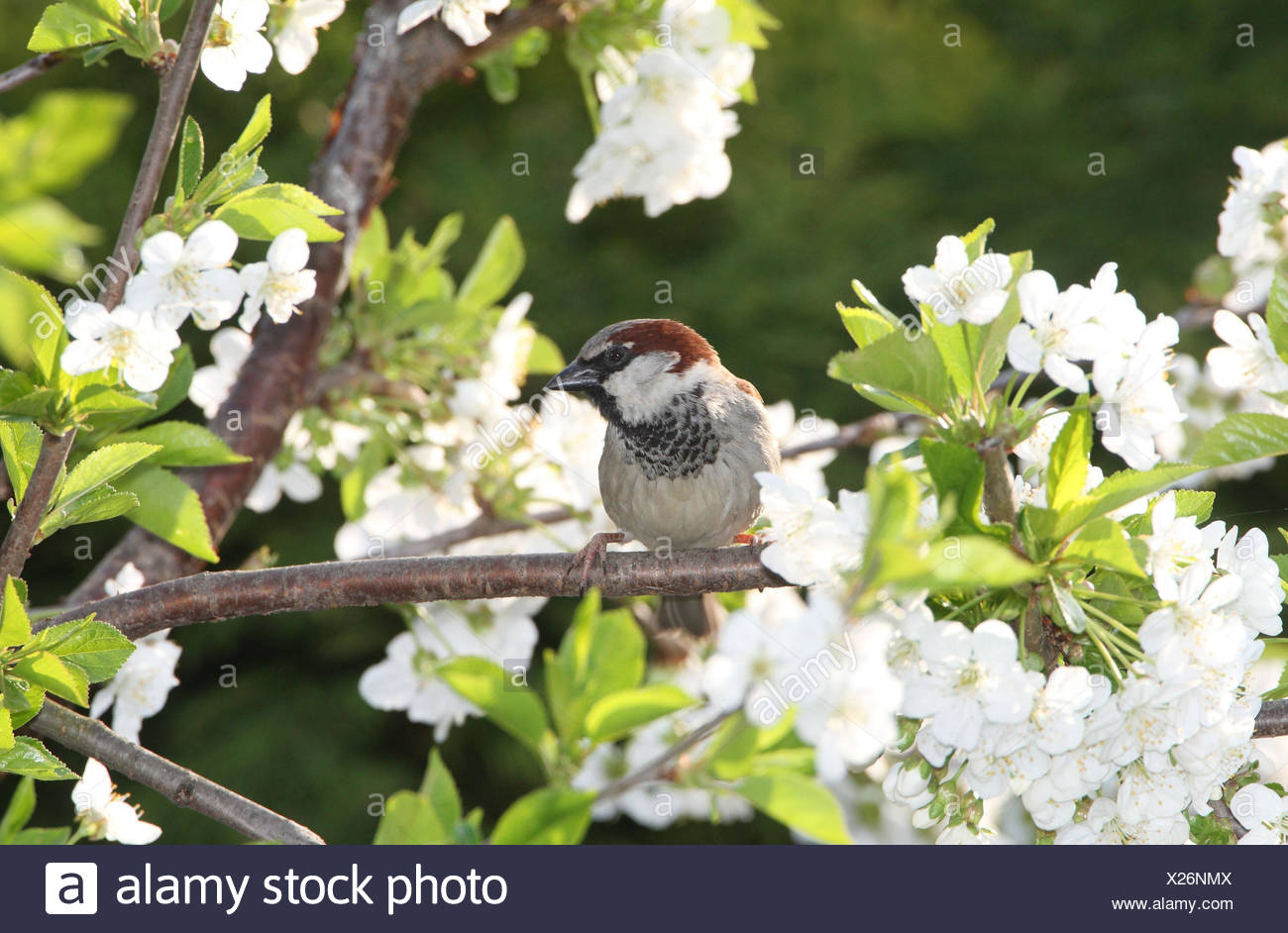 House sparrow sits on cherry twig, - Stock Image