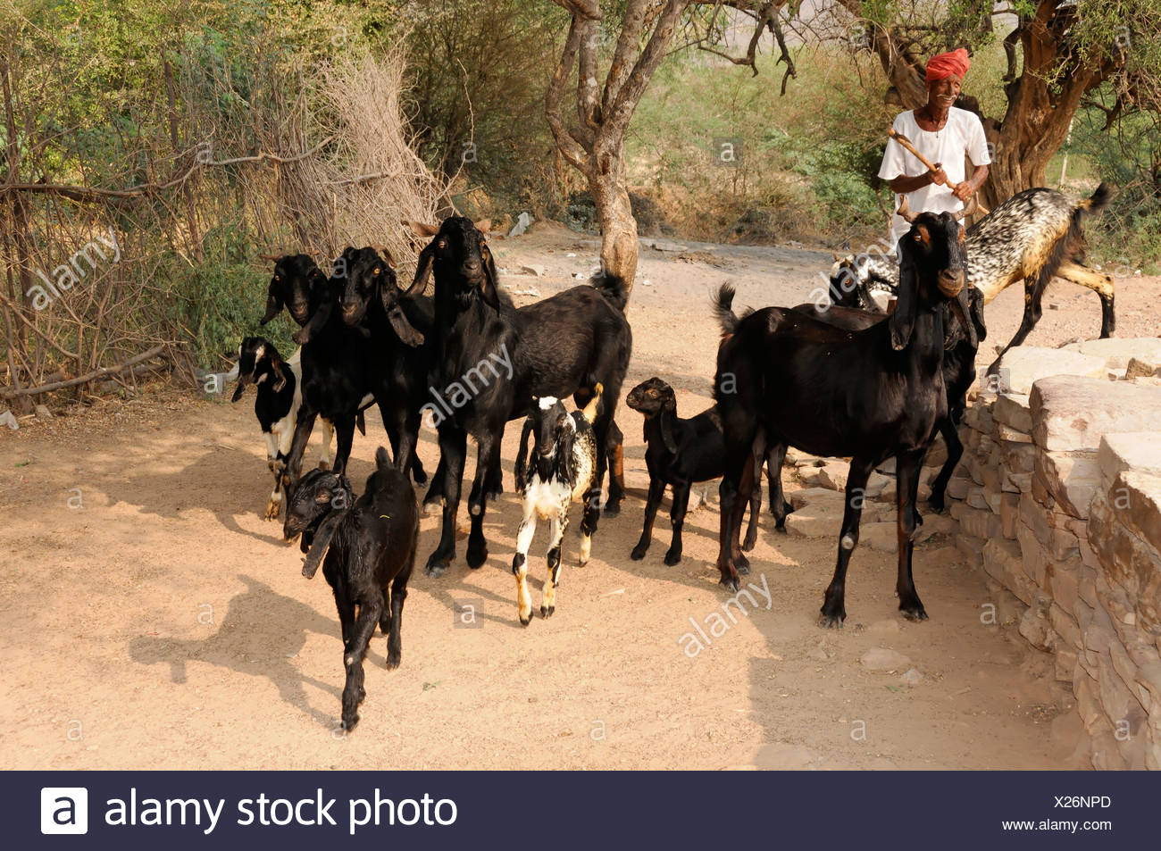 Indian man with a herd of goats near sawai madhopur rajasthan north india asia