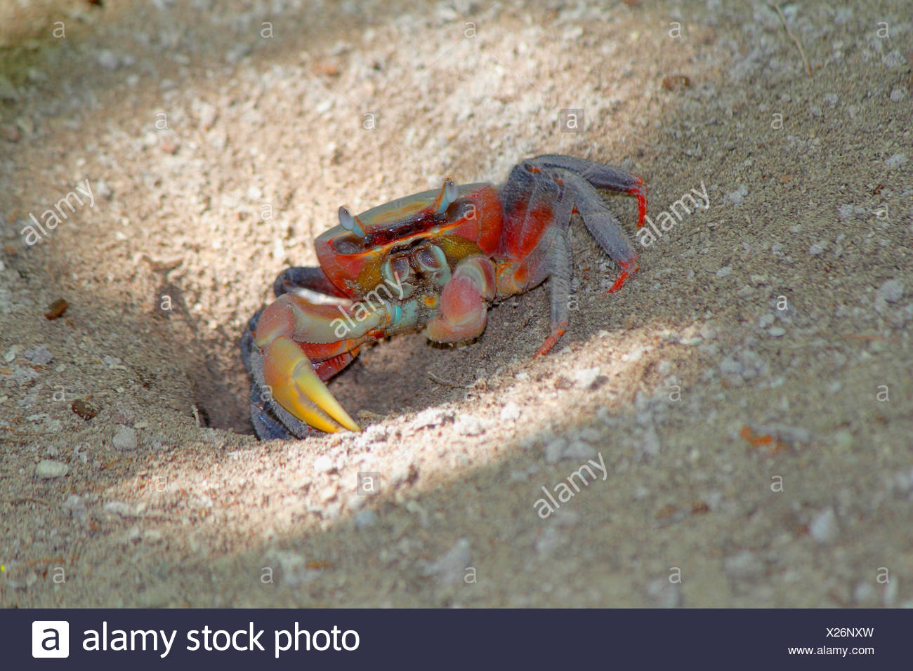 Red Claw Crab, Land crab (Cardisoma carnifex), animal at the entrance to the cave, Seychelles, Praslin - Stock Image