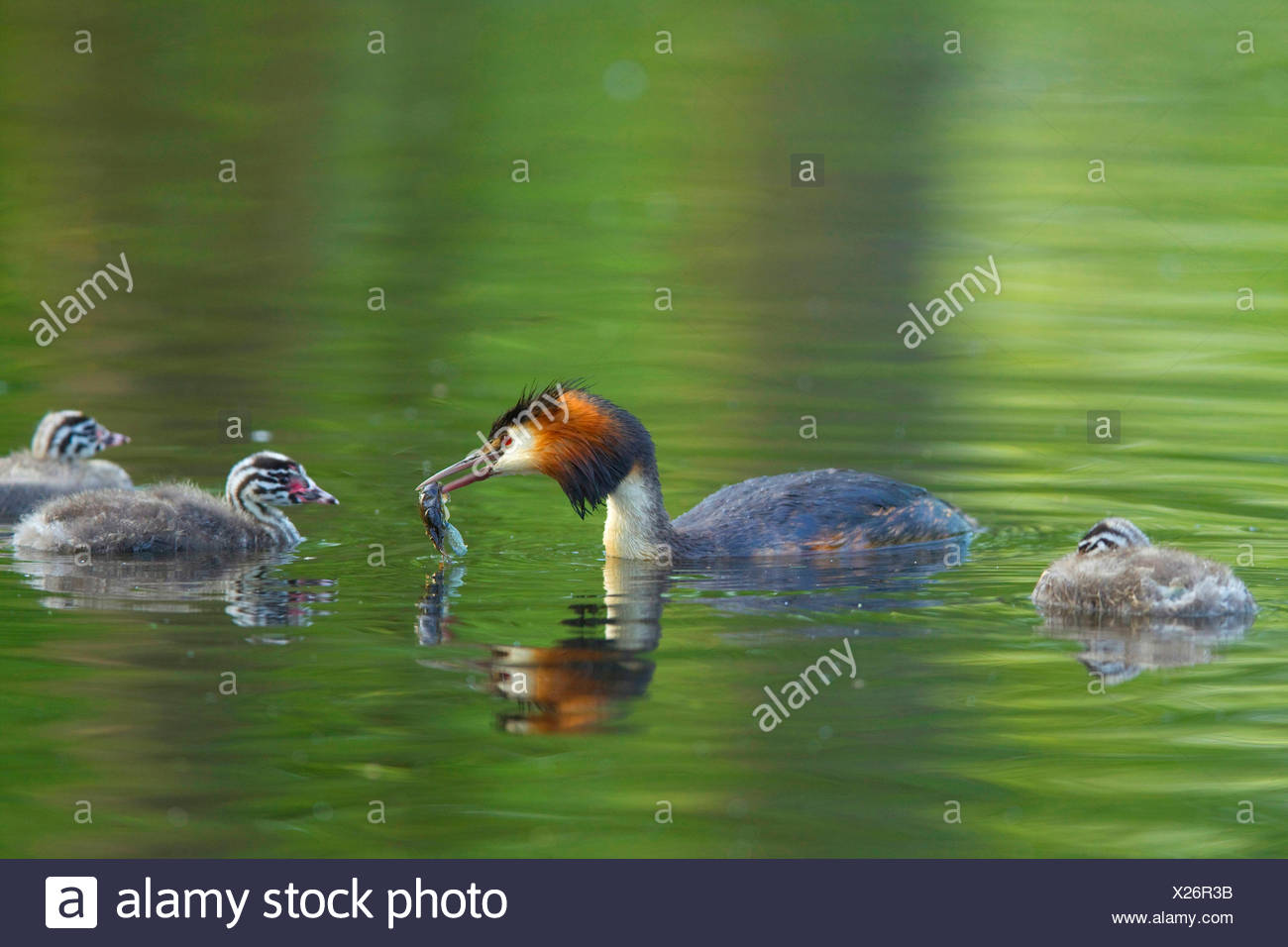 great crested grebe (Podiceps cristatus), adult bird with feed in the bill swimming with three young animals on the water, Germany - Stock Image
