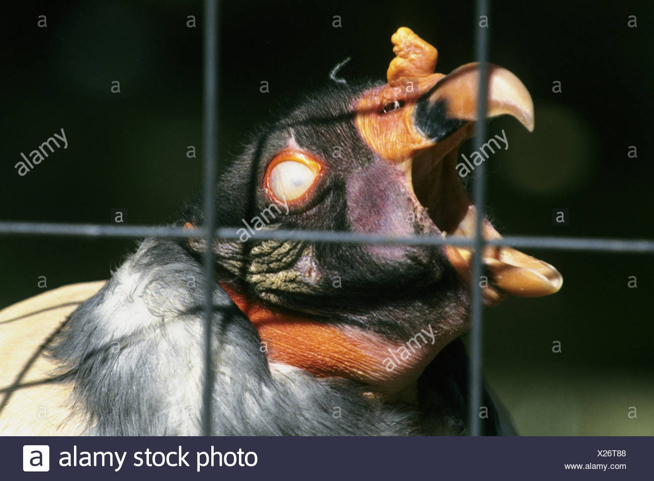 king vulture (Sarcorhamphus papa), portrait behind bars with open bill - Stock Image