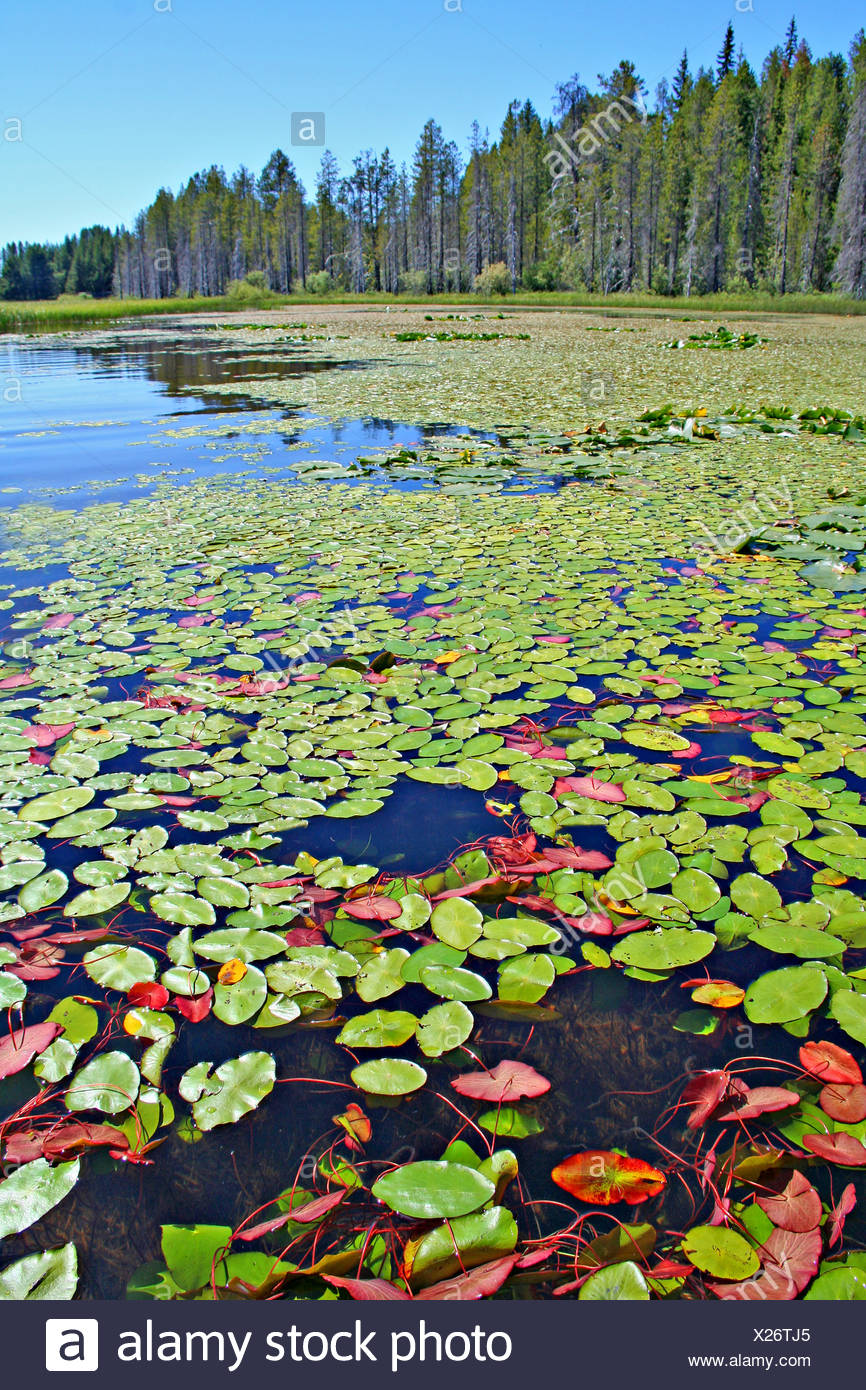 Ecological succession aquatic plants to pine trees Lake of the Woods Oregon - Stock Image
