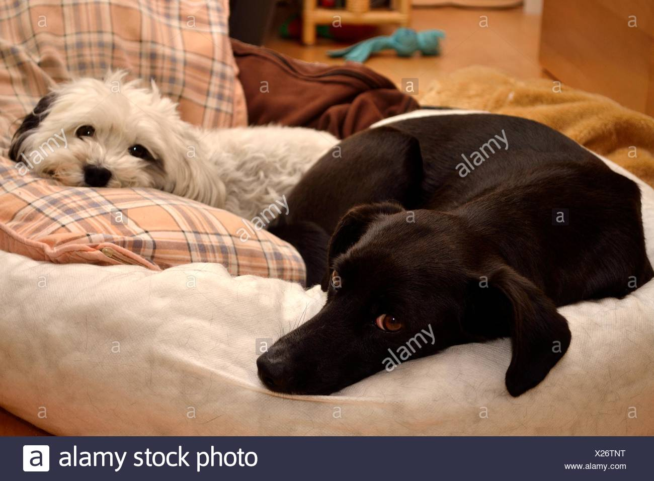Together in dog bed - Stock Image