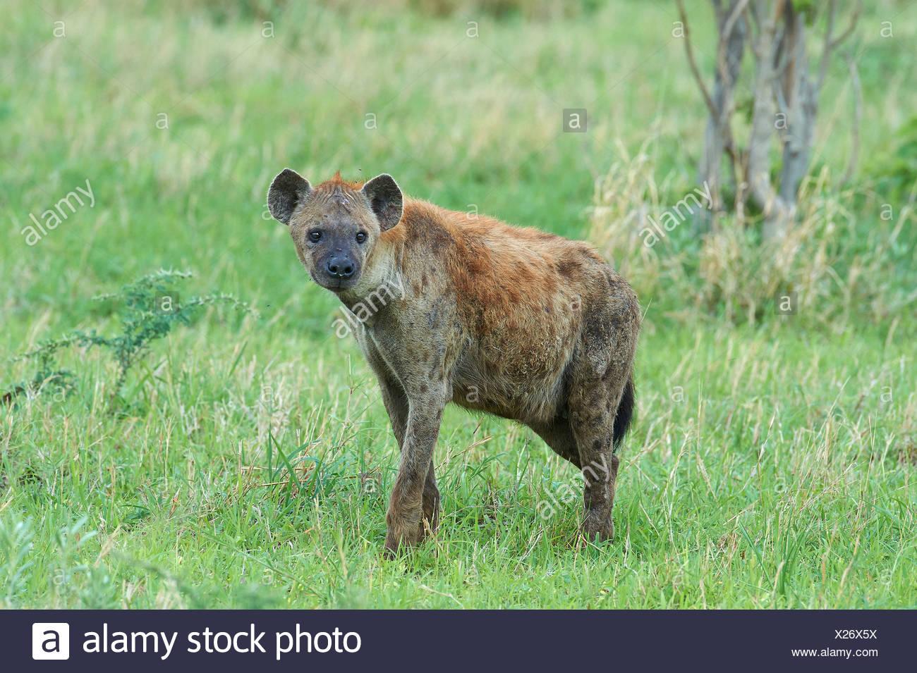 Botswana, Africa, Hyäne, animal, Savuti - Stock Image