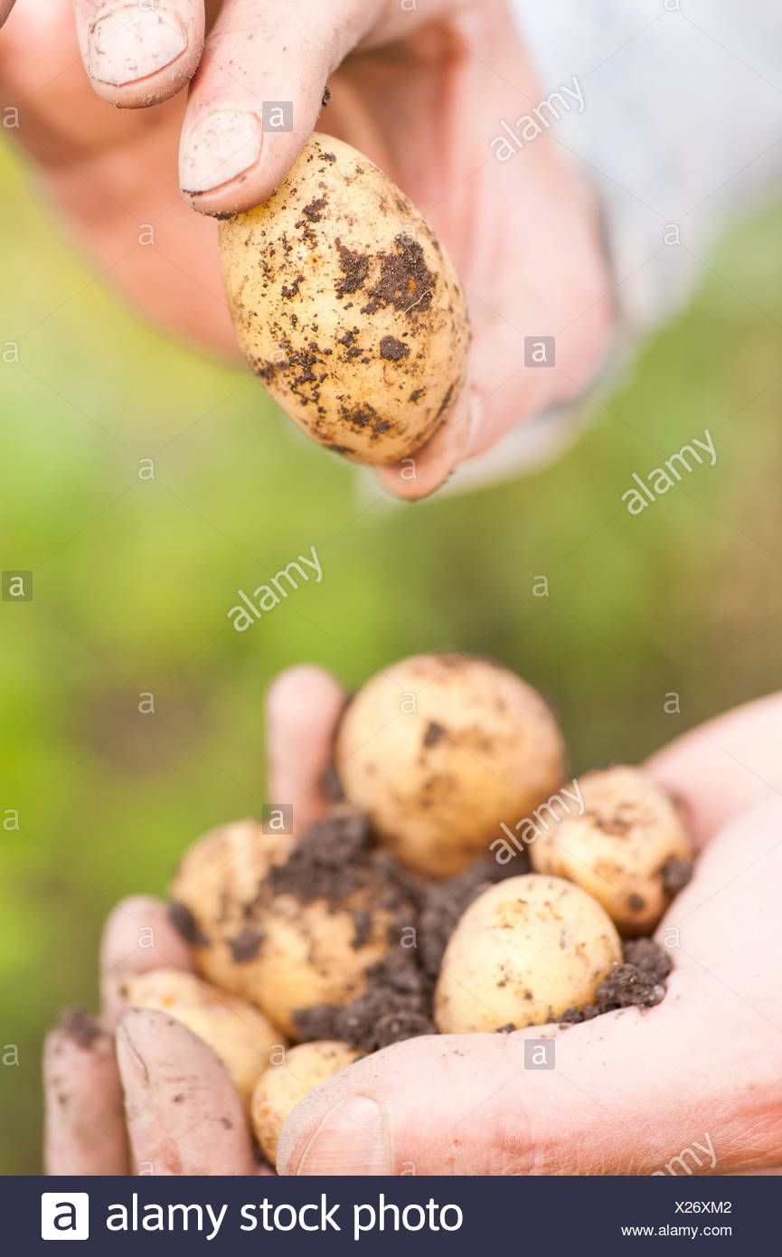 Hands holding organically grown earthy potatoes, Sweden - Stock Image