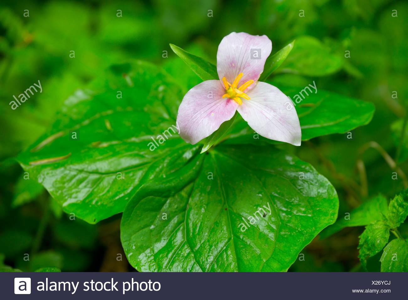 Western trillium in bloom along Harris Ranch Trail, Siuslaw National Forest, Oregon. - Stock Image