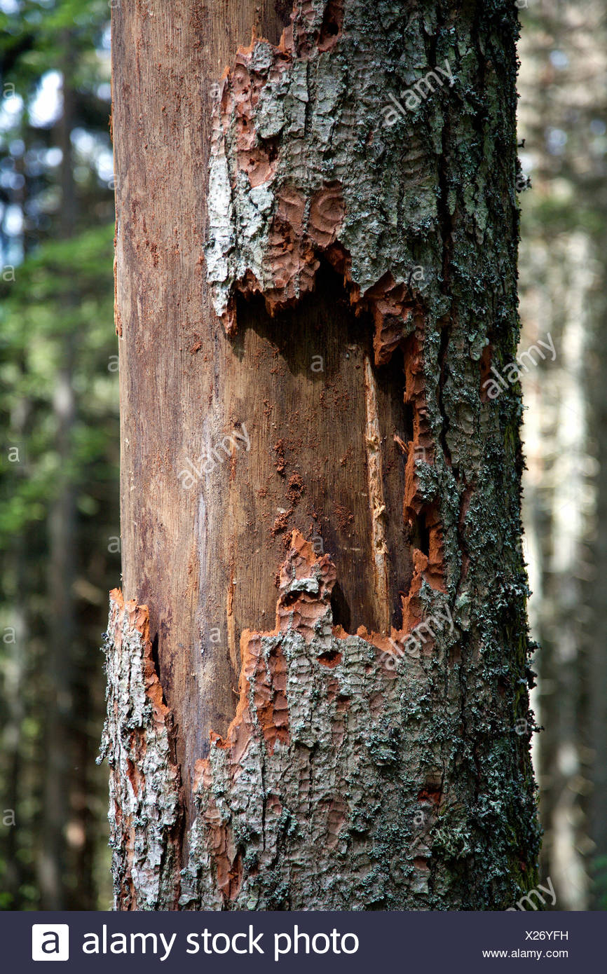 Dead spruce (Picea) through infestation of bark beetles (Scolytinae) in the Black Forest, Baden-Wuerttemberg, Germany, Europe - Stock Image