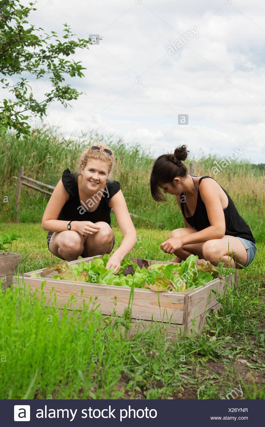 Women in garden picking salad - Stock Image