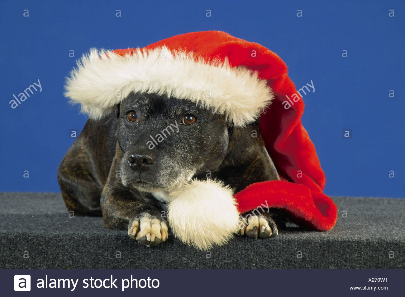 Christmas: Staffordshire Bullterrier with Santa Claus cap - Stock Image