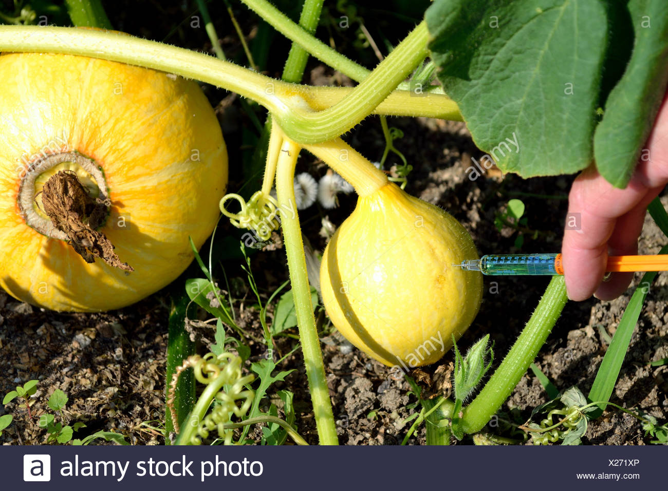 Genetic manipulation of vegetables - Stock Image