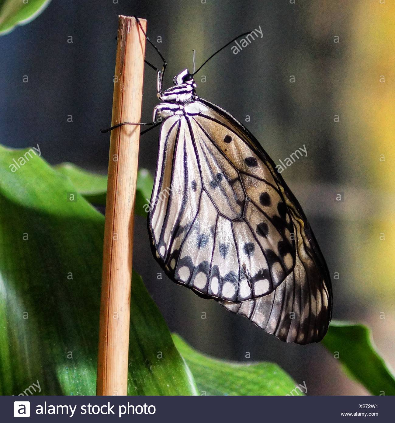 Edited Sideview Butterfly - Stock Image