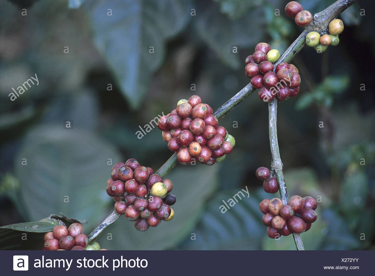 Coffee tree, branch, beans, detail Asia, South Asia, Hindi Bharat, India, Südindien, Kerala, Periyar, plant, coffee plant, botany, vegetation, Coffea, coffee, redness plants, cultivated plant, economy, annex, fruits - Stock Image